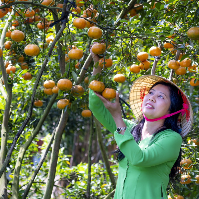 """The girls harvest a big basket of citrus tangerines in the garden at Mekong Delta. farm"" stock image"