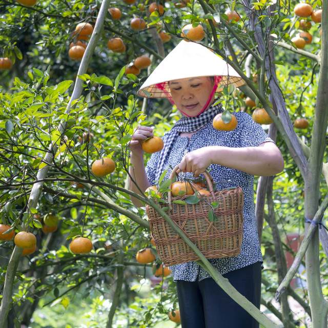 """The woman harvest a big basket of citrus tangerines in the garden at Mekong Delta. farm"" stock image"
