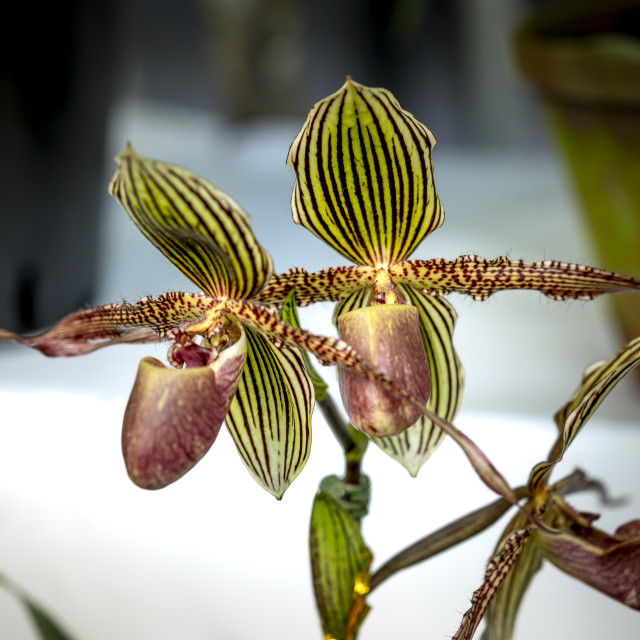 """Paphiopedilum delenatii, Vietnam wild orchid, white and pink flower"" stock image"