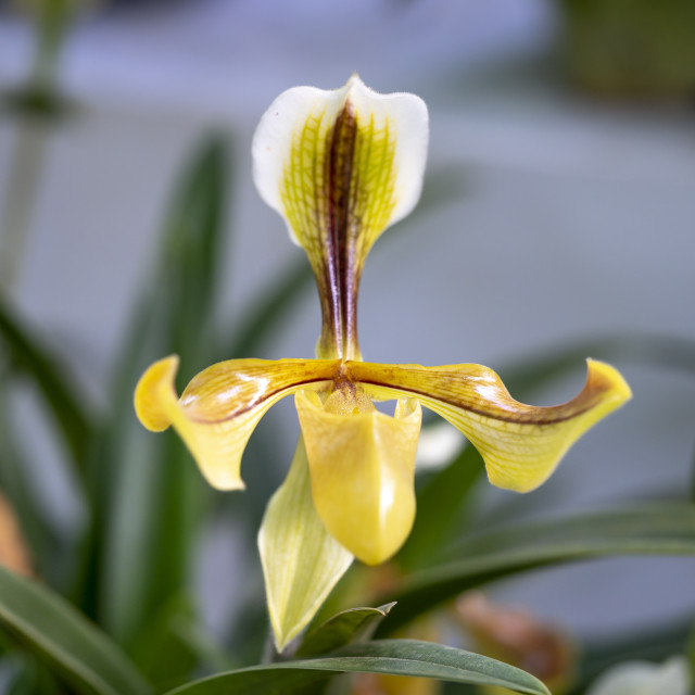 """Paphiopedilum delenatii, Vietnam wild orchid, white and pink flower."" stock image"