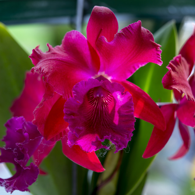 """Close-up of noble beauty of Cattleya orchids"" stock image"
