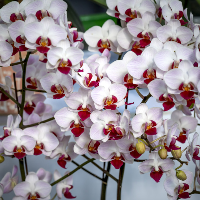 """Colorful potted phalaenopsis orchids"" stock image"
