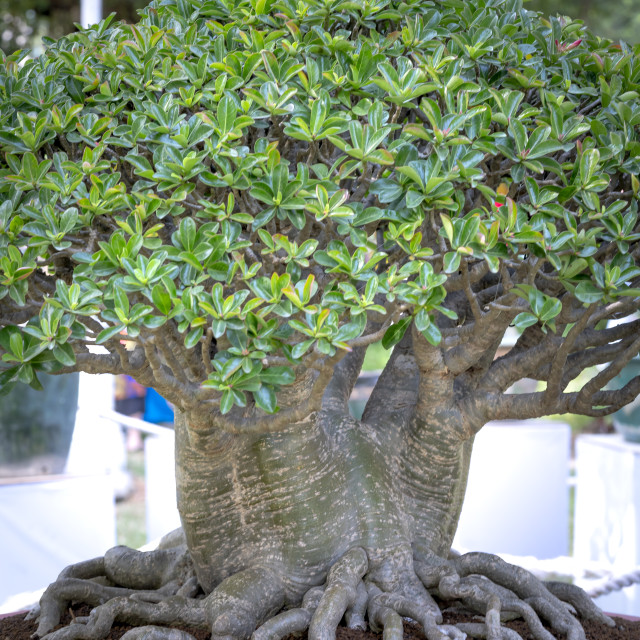 """Adenium obesum bonsai tree with unique beam root set"" stock image"