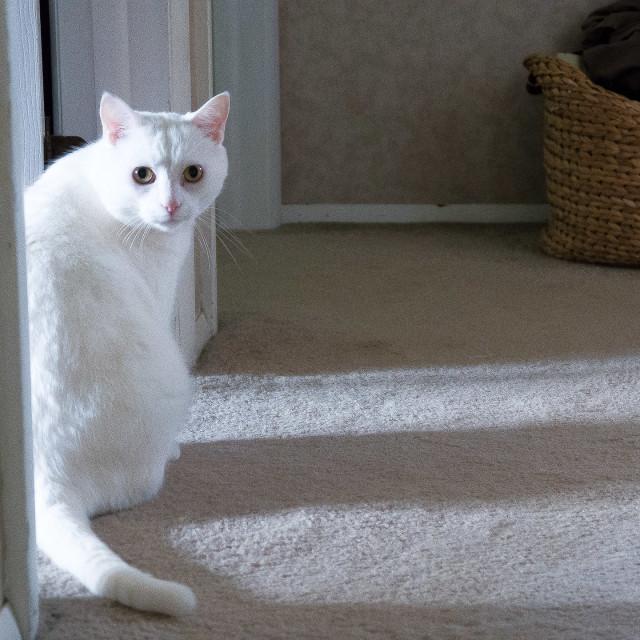 """""""PRETTY WHITE CAT"""" stock image"""