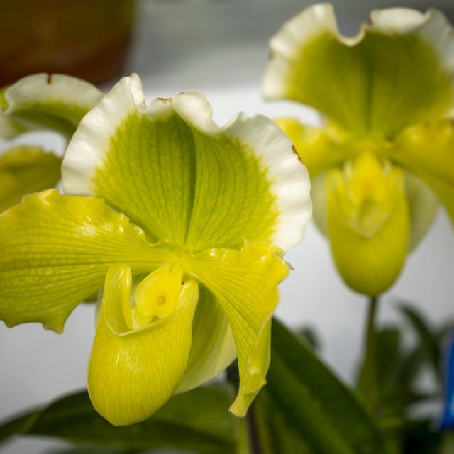 """""""Paphiopedilum delenatii, Vietnam wild orchid,"""" stock image"""