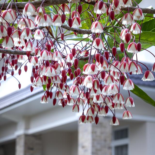 """Elaeocarpaceae, bloom on the beautiful tree"" stock image"