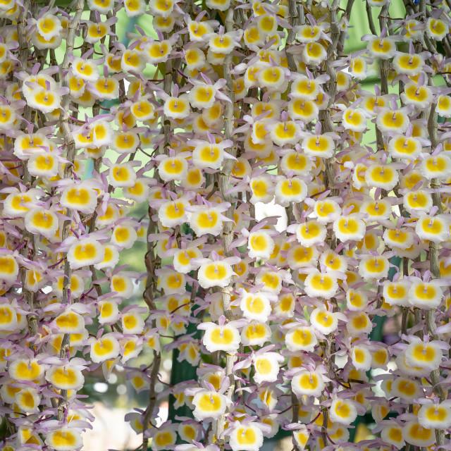 """Dendrobium aphyllum orchid flowers"" stock image"