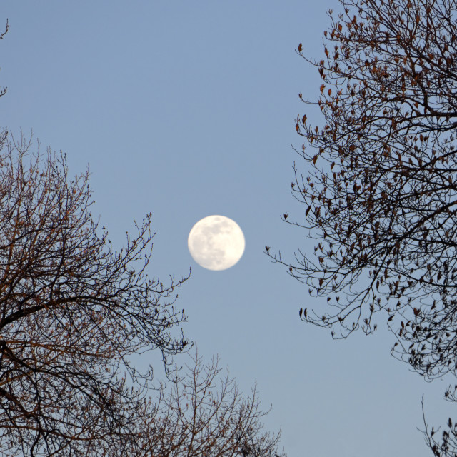 """Full moon and trees"" stock image"