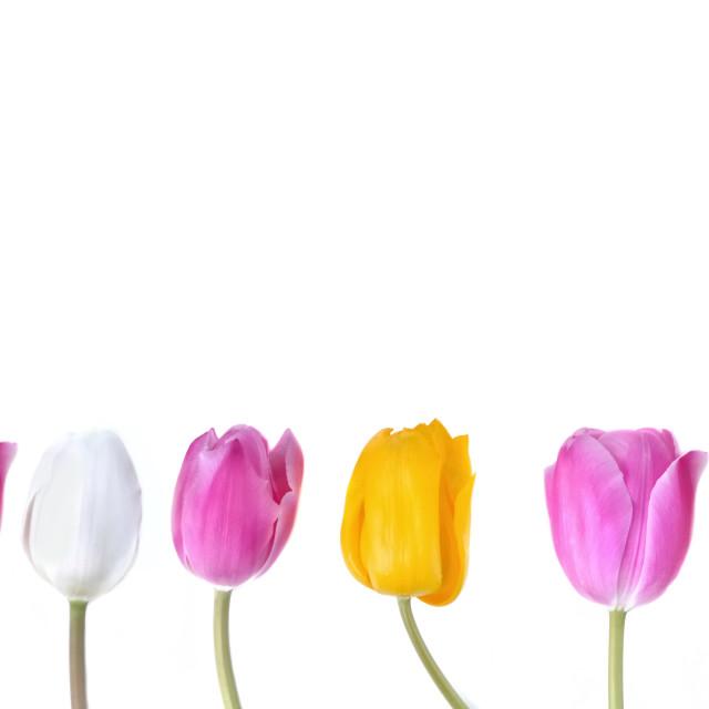 """colorful tulips corolla"" stock image"