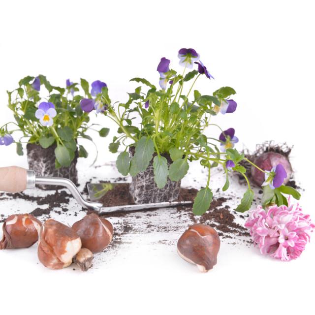 """flowers plant on a shovel, bulbs and hyacinth"" stock image"