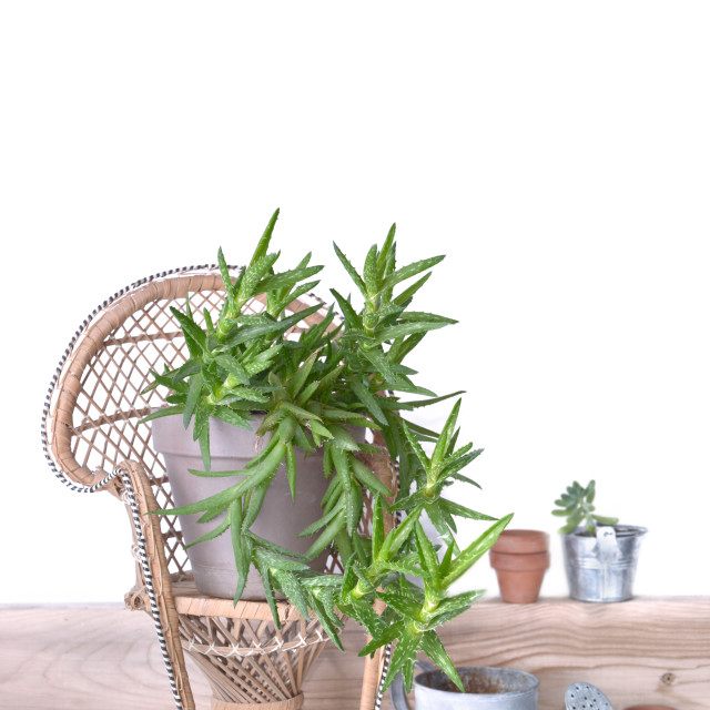 """""""succulent plant on a little rattan chair"""" stock image"""