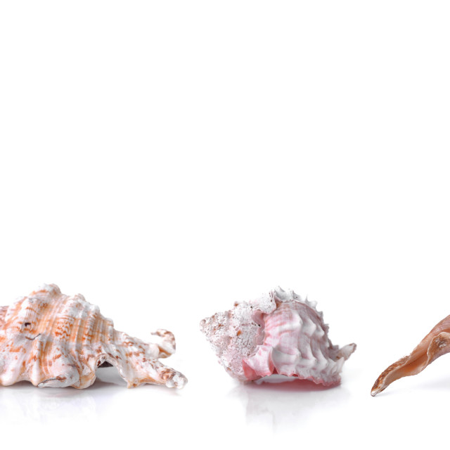 """""""beautiful collection of seashells in line on white background and panoramic size"""" stock image"""