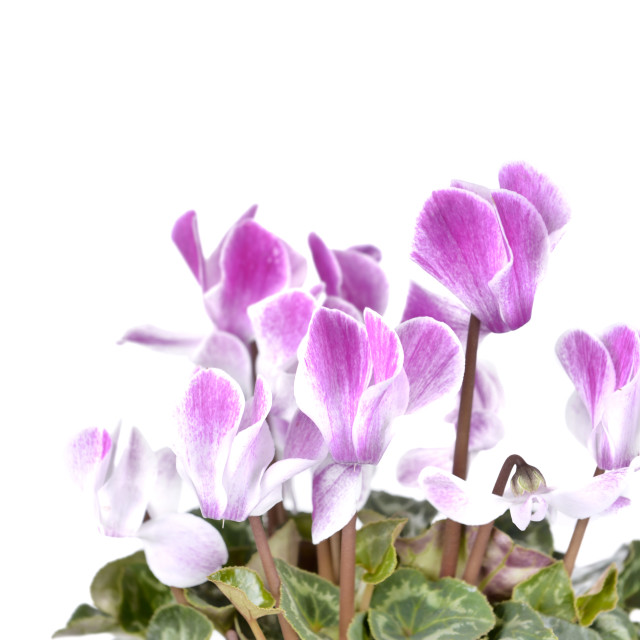 """""""pink flowers of cyclamen"""" stock image"""