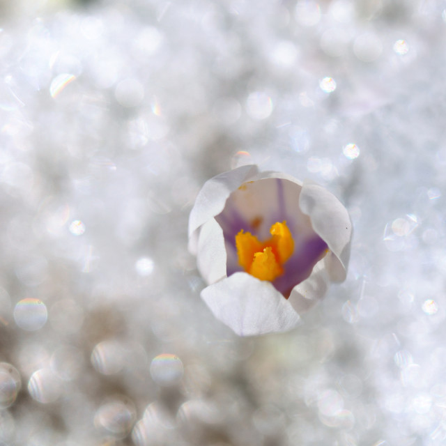 """""""crocus blooming in the snow"""" stock image"""