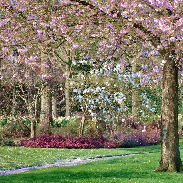 """cherry tree in springtime in city park"" stock image"