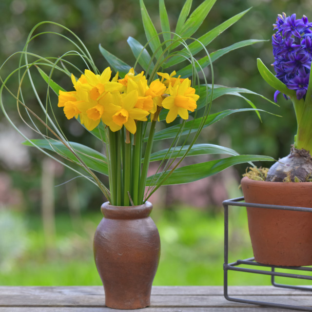 """""""bouquet of daffodils and hyacinth potted on a table in a garden"""" stock image"""