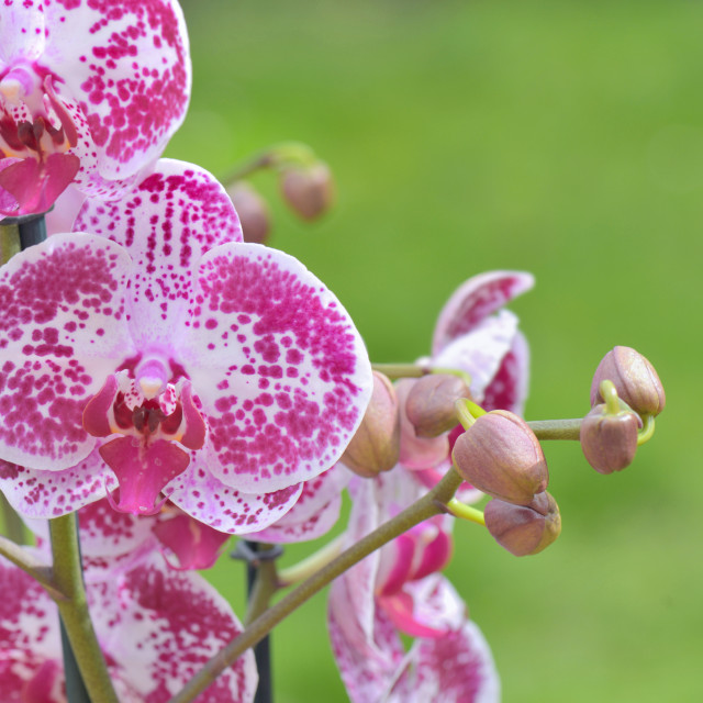 """""""beautiful pink and white orchid flowers on green background"""" stock image"""