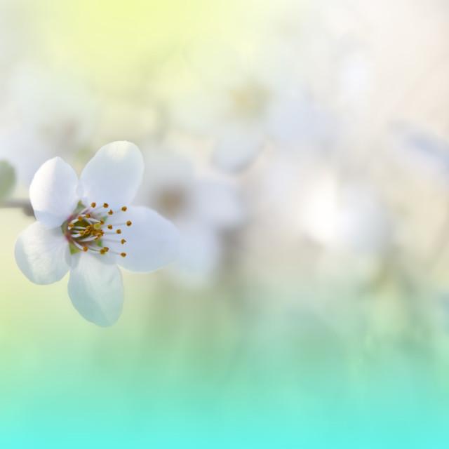 """""""Beautiful Nature Background.Amazing Spring White Flowers."""" stock image"""