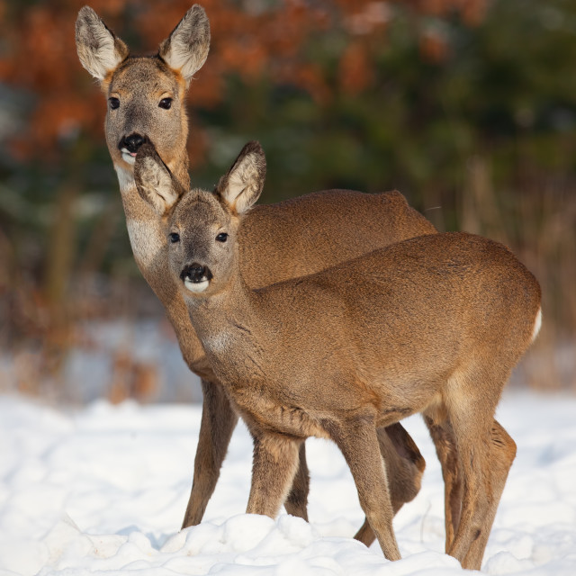 """Roe deer, capreolus capreolus, family in deep snow in winter."" stock image"