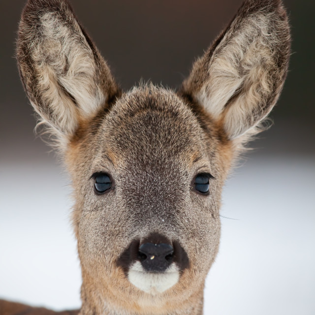 """Portrait of roe deer, capreolus capreolus, in winter."" stock image"