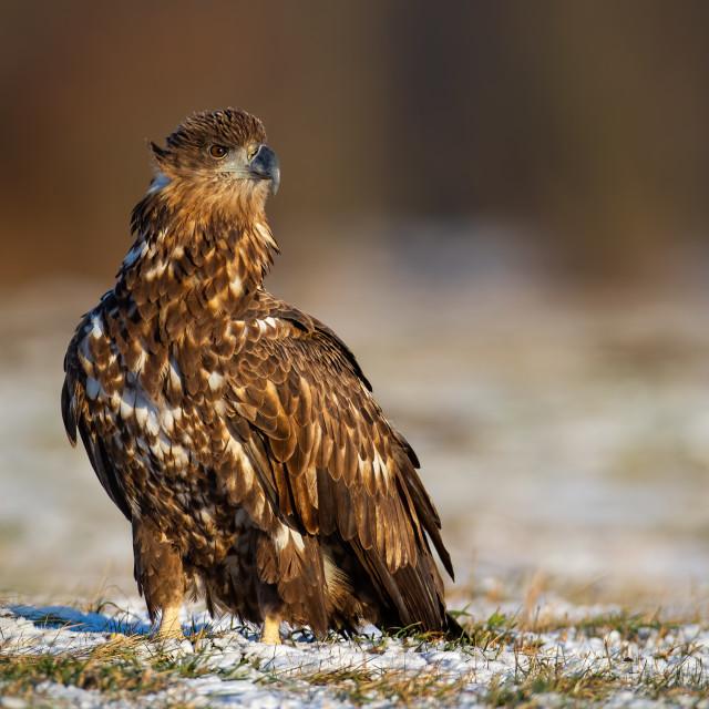 """Juvenile white-tailed eagle, haliaeetus albicilla, in winter sitting on a..."" stock image"
