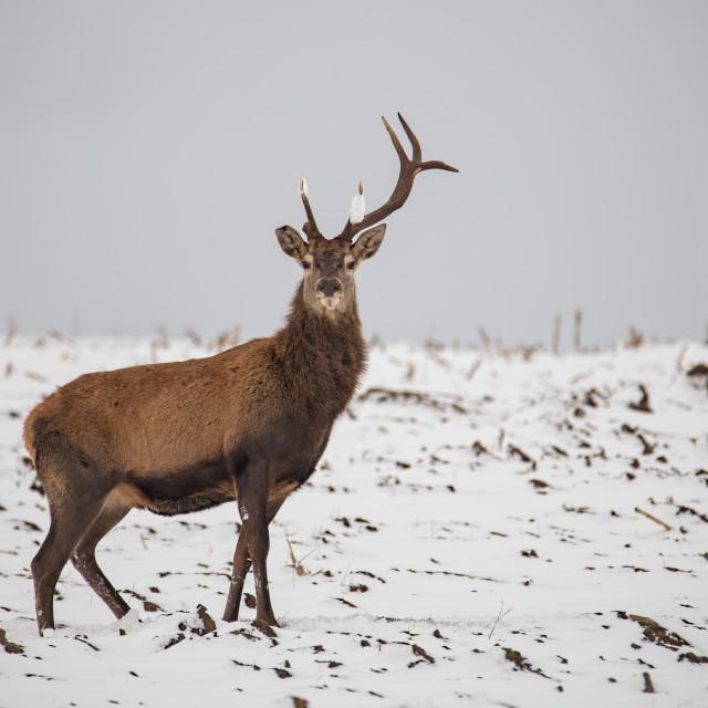"""""""Red deer, Cervus elaphus, in winter on snow with broken antler."""" stock image"""