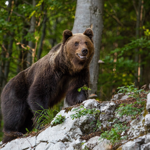 """""""Dominant brown bear, ursus arctos standing on a rock in forest."""" stock image"""