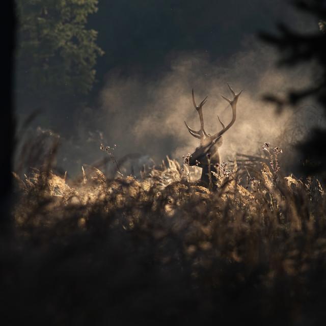 """Red deer stag in mornig autumn mist"" stock image"