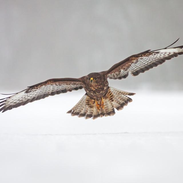 """Wild common Buzzard, Buteo buteo, flying over snow."" stock image"