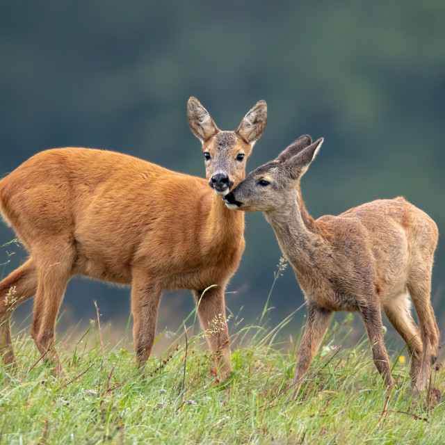 """""""Intimate moment between mother roe deer doe and fawn"""" stock image"""