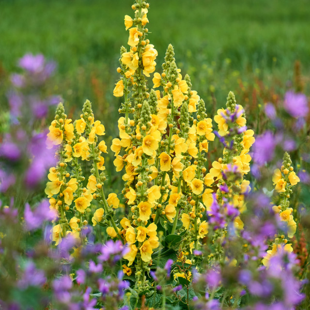 """big yellow mullein on isle Hiddensee"" stock image"