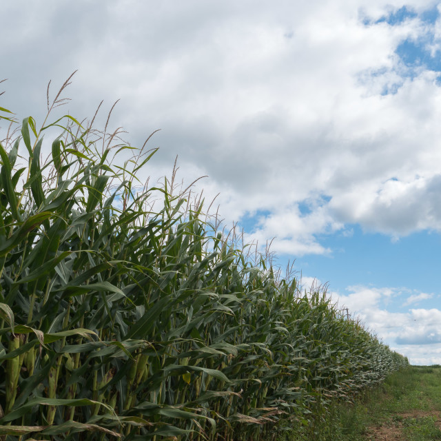 """CORNFIELD AND CLOUDS"" stock image"