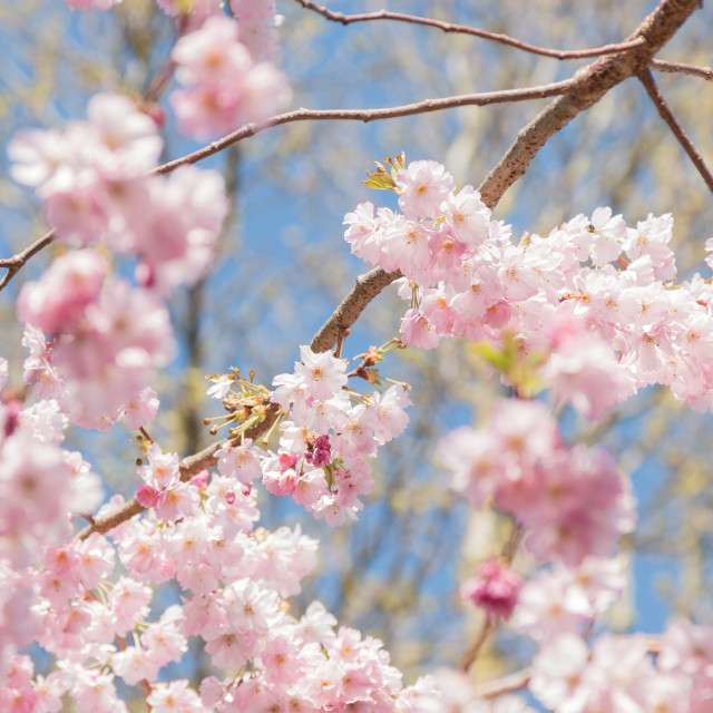 """""""The Loveliest Blossom"""" stock image"""