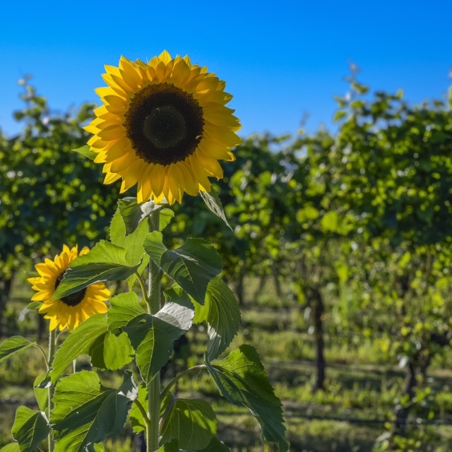 """""""Sunflower in the foreground of a vineyard under a blue sky; Martinborough,..."""" stock image"""