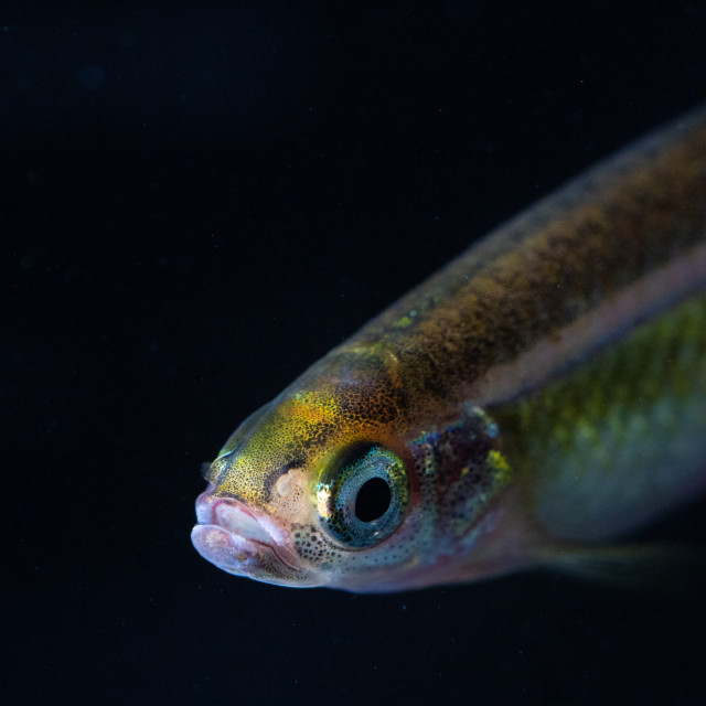 """Small Minnow"" stock image"