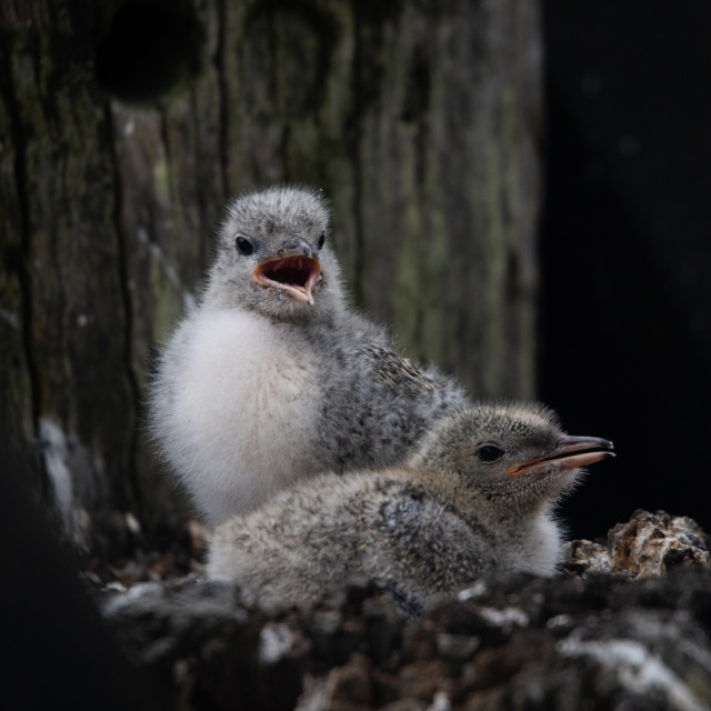 """NZ Native Tern Chicks"" stock image"