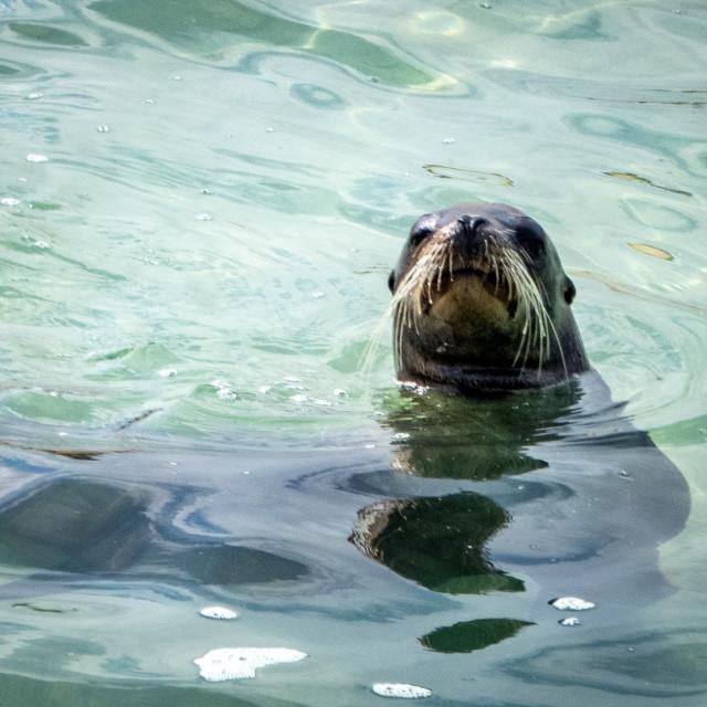 """Sea Lion Galapagos"" stock image"
