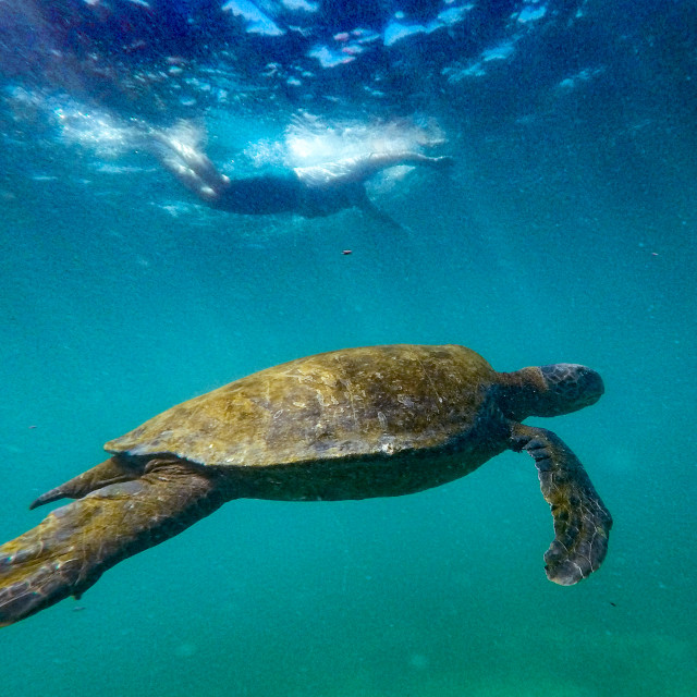 """Galapagos Turtle with Swimmer"" stock image"