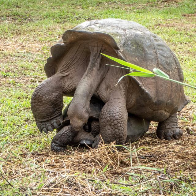 """Galapagos Giant Tortoises Mating"" stock image"