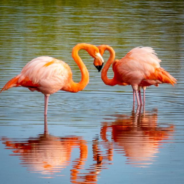 """Heart Flamingos"" stock image"