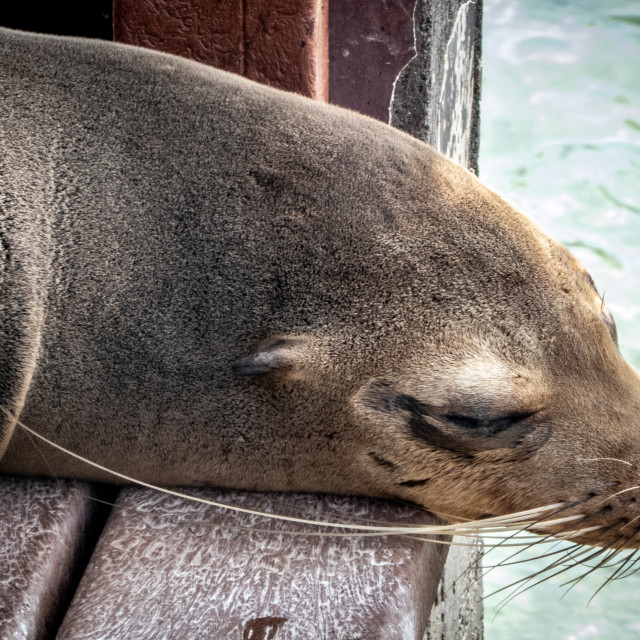 """Just relaxing, like a sea lion"" stock image"