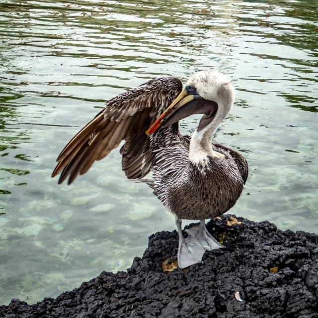 """Wingman. Pelican. Galapagos."" stock image"