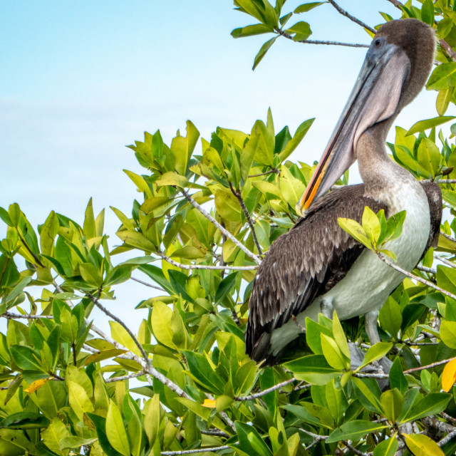 """Pelican in a tree"" stock image"
