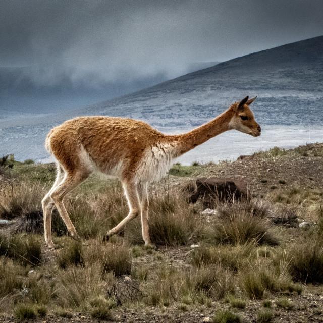 """Vicuna. Wild llama. On Chimborazo."" stock image"