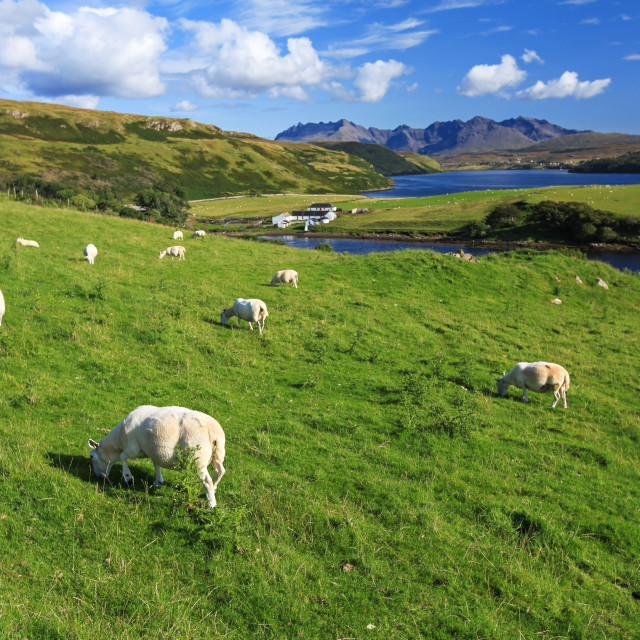 """A sheep grazing on the Isle of Skye"" stock image"