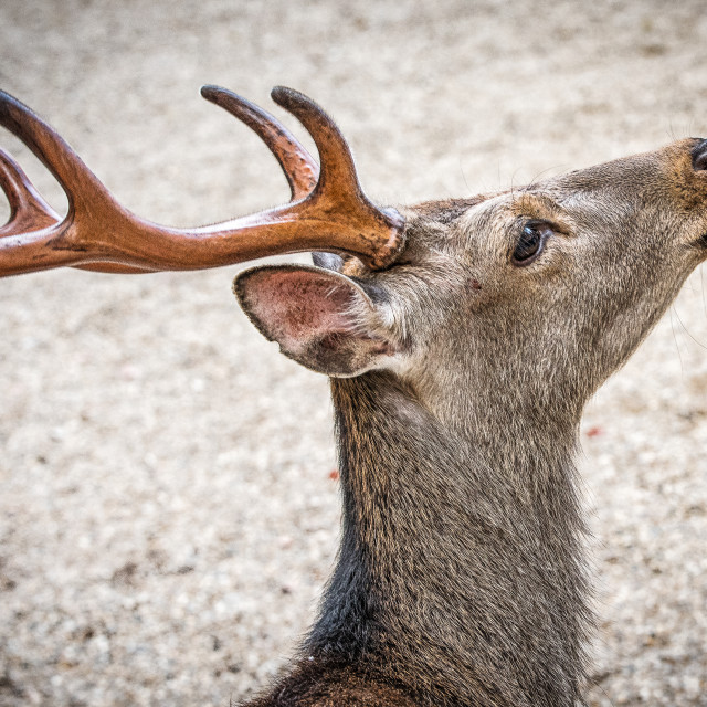 """Deer"" stock image"