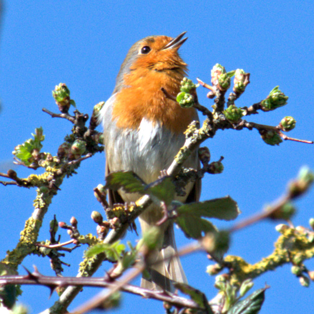 """EUROPEAN ROBIN"" stock image"