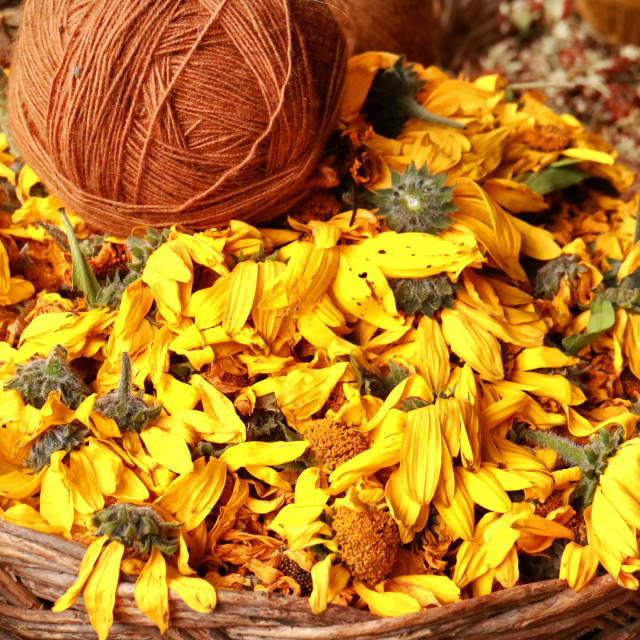 """Yellow marigold natural dye"" stock image"