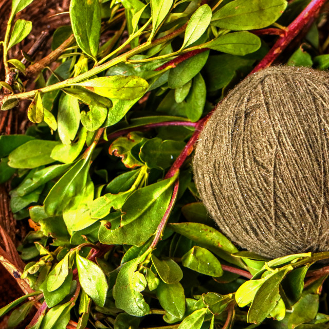 """Green natural dye with Ch'illca"" stock image"