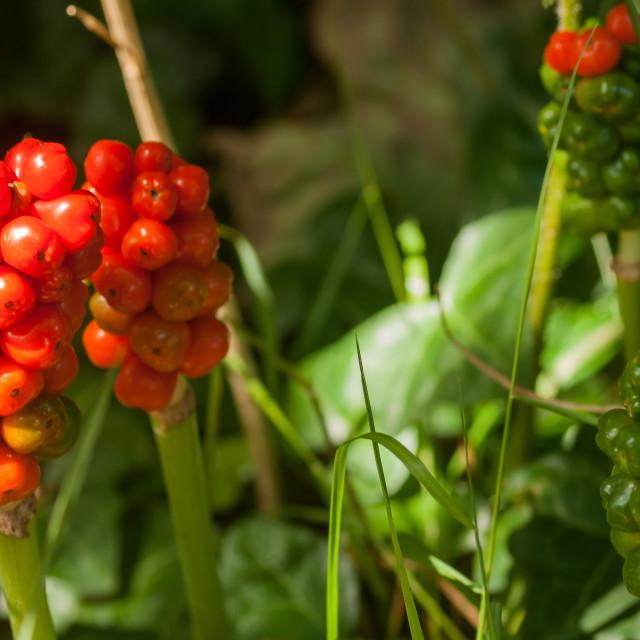 """Cuckoo Pint (Arum maculatum)"" stock image"
